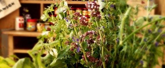 Zioło, ziołami o ziołach - Jadwiga Łopata opowie o ziołach lokalnych